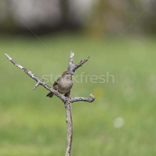 Feminino pardal ramo Foto stock © ivonnewierink