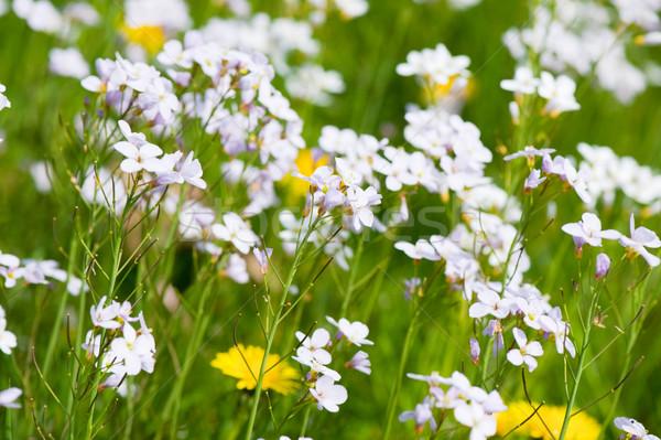 Paardebloemen koekoek bloemen Geel wild gras Stockfoto © ivonnewierink