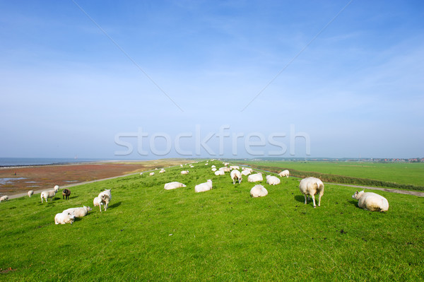 Dike with sheep at Dutch Ameland Stock photo © ivonnewierink
