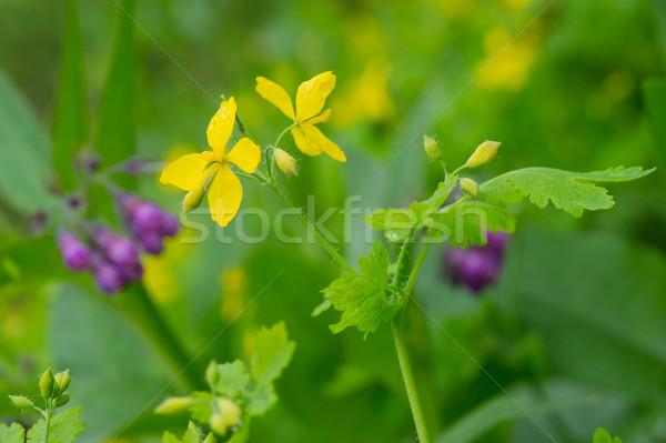 greater celandine Stock photo © ivonnewierink