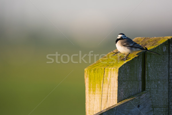 White wagtail on pole Stock photo © ivonnewierink