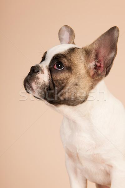 French bulldog puppy Stock photo © ivonnewierink