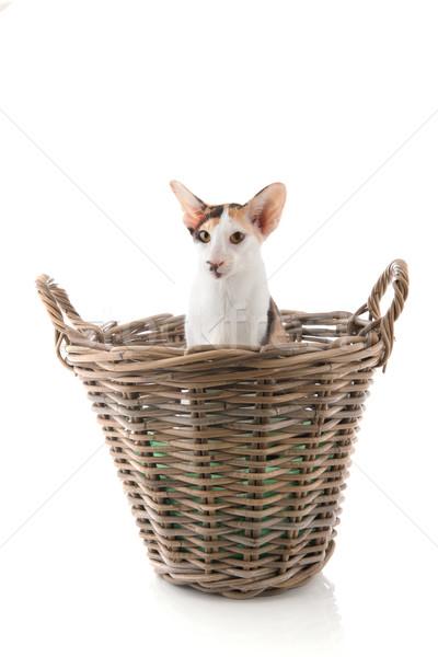 Sziámi macska nagy kosár izolált fehér macska Stock fotó © ivonnewierink