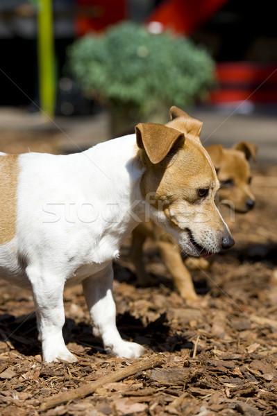 Dogs Stock photo © ivonnewierink