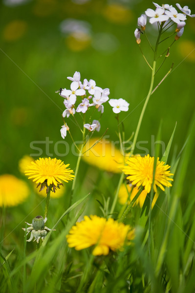 Dandelions and Cuckoo flowers Stock photo © ivonnewierink