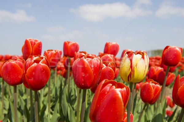 Kırmızı lale manzara bir sarı istisna Stok fotoğraf © ivonnewierink