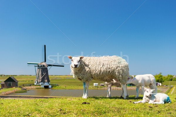 Sheep and windmill at Dutch island Texel Stock photo © ivonnewierink