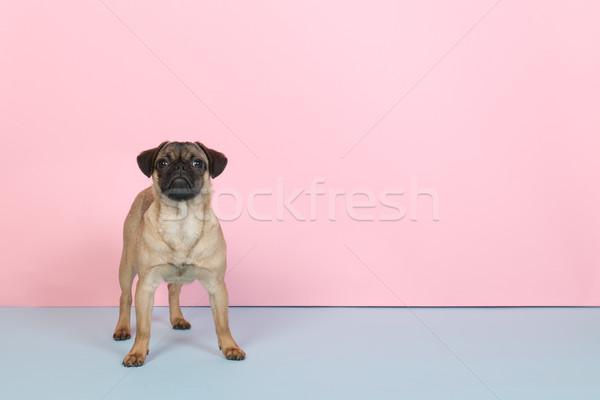щенков синий розовый мало животного Сток-фото © ivonnewierink