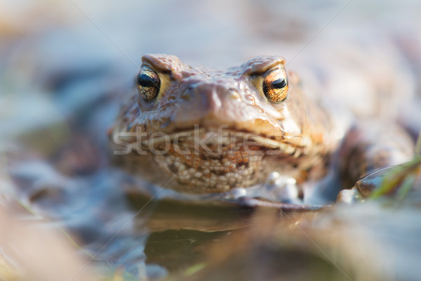 Common toad Stock photo © ivonnewierink
