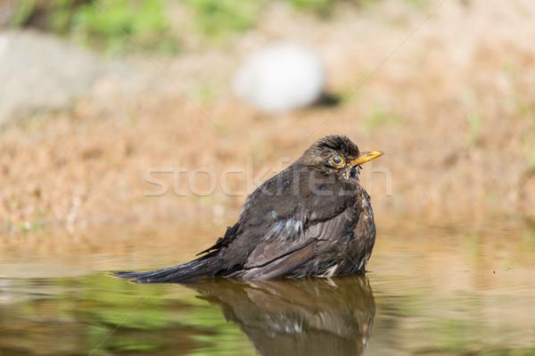 Mirlo agua naturaleza Foto stock © ivonnewierink