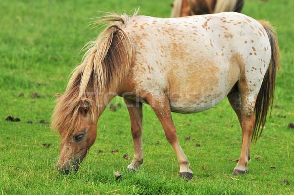 pregnant American mini horse Stock photo © ivonnewierink
