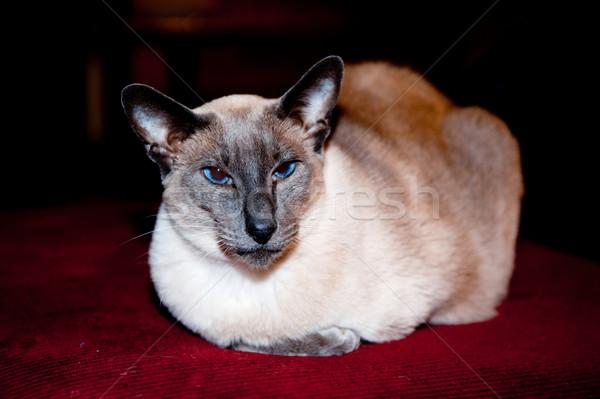 Fóka pont sziámi macska fektet piros pad Stock fotó © ivonnewierink