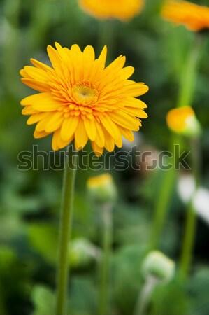 Yellow Gerber plants Stock photo © ivonnewierink