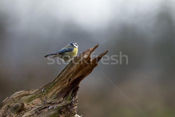 Stockfoto: Blauw · tit · boomstam · hout · natuur · schoonheid