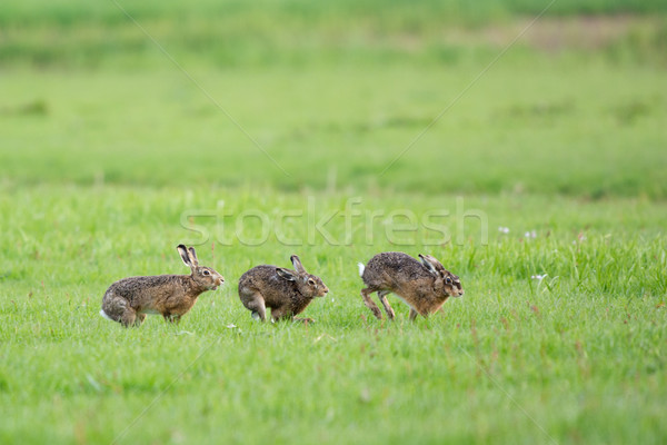 Running European hares Stock photo © ivonnewierink