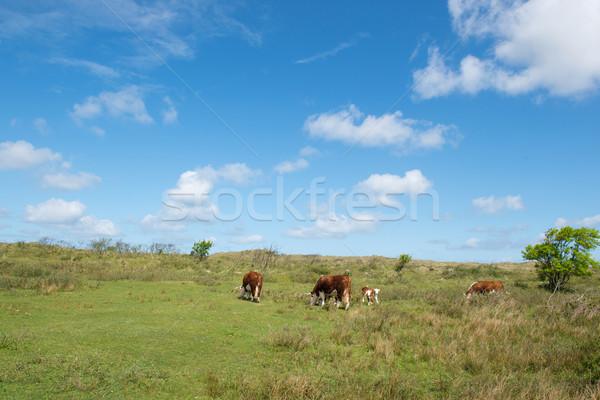 Grazing Hereford cows  Stock photo © ivonnewierink