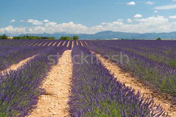 French Lavender fields  Stock photo © ivonnewierink
