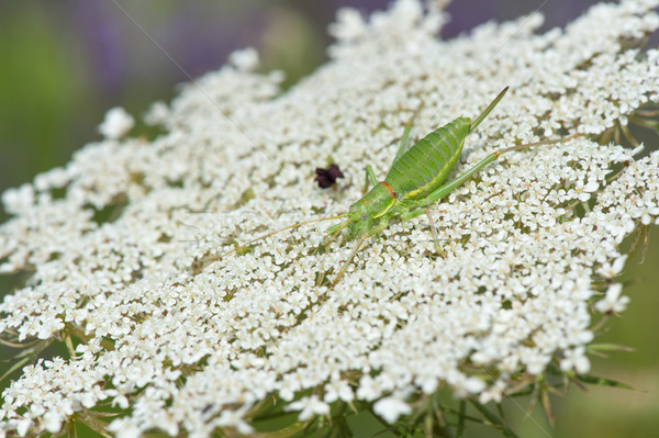 Konik polny krowy pietruszka zielone biały Zdjęcia stock © ivonnewierink