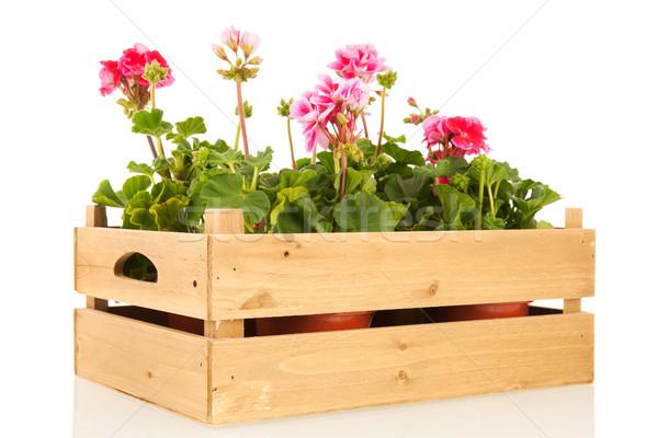 Pelargoniums in crate Stock photo © ivonnewierink