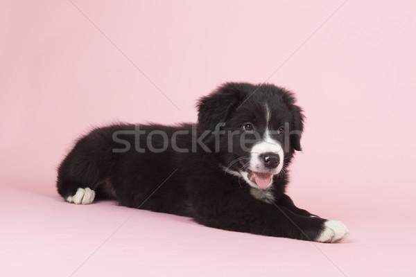 Border Collie puppy on pink Stock photo © ivonnewierink