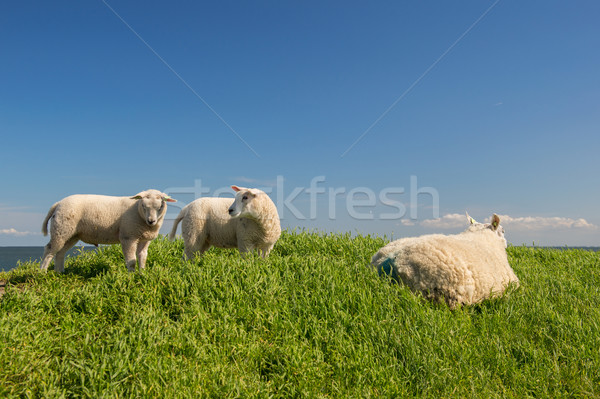 Sheep at the dyke Stock photo © ivonnewierink