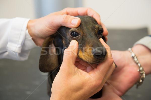 Veterinario guardando occhi cane piccolo mani Foto d'archivio © ivonnewierink
