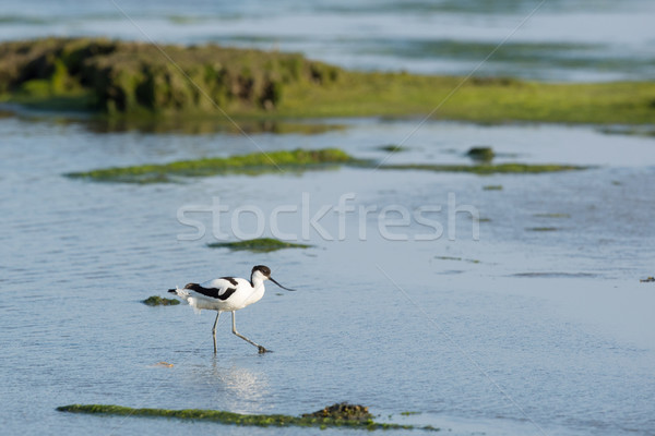 Pied Avocet in mudflat Stock photo © ivonnewierink
