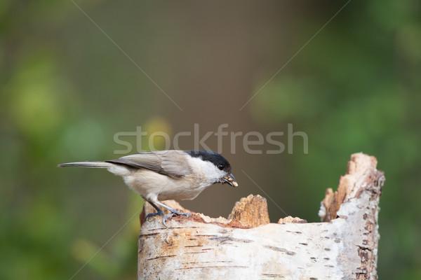 売り言葉 食べ 種子 座って 木の幹 ストックフォト © ivonnewierink