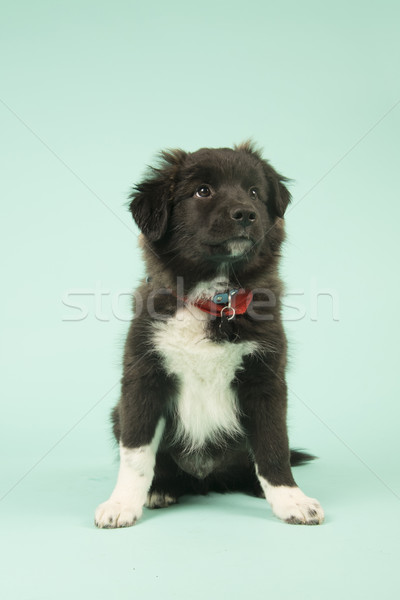 Kruis ras border collie puppy groene cute Stockfoto © ivonnewierink