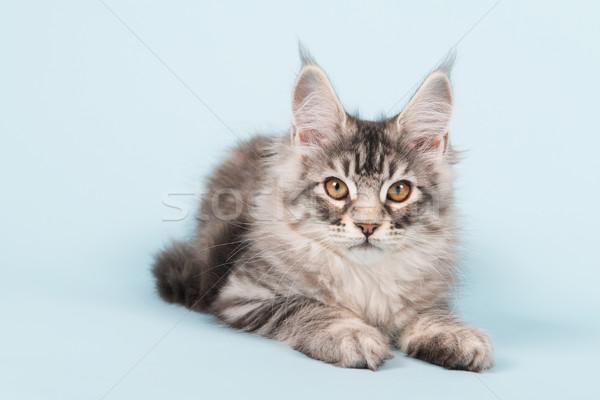 Maine kitten leggen Blauw studio Stockfoto © ivonnewierink