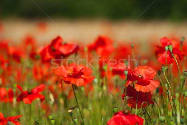 Piros pipacsok gabona mezők virágok mezőgazdaság Stock fotó © ivonnewierink