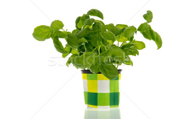 Basil plant Stock photo © ivonnewierink