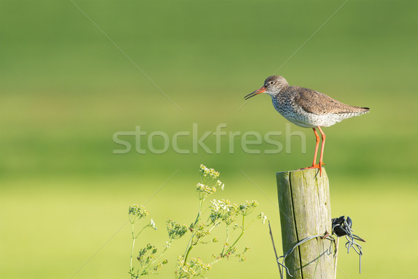Stock photo: common redshank on wooden fence