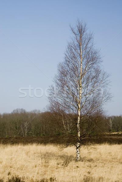 Tájkép tavasz portré nyírfa citromsárga fű Stock fotó © ivonnewierink
