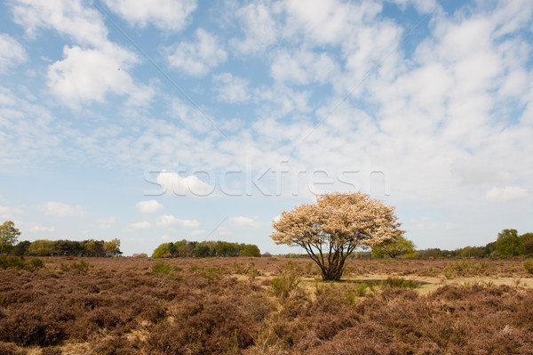 Blossom tree in heather landscape Stock photo © ivonnewierink