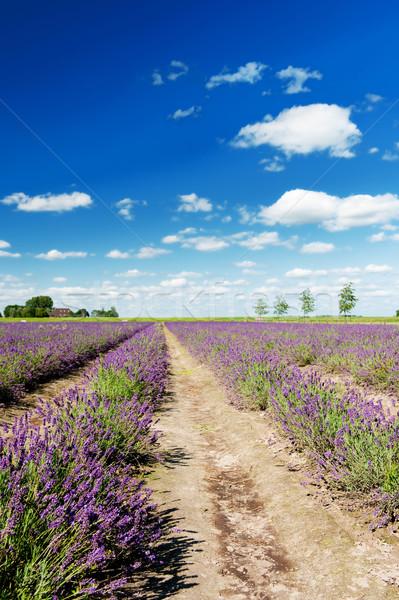 Lavender fields in Holland Stock photo © ivonnewierink