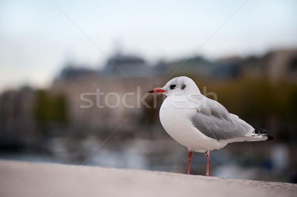 鴎 パリ 鳥 市 ストックフォト © ivonnewierink
