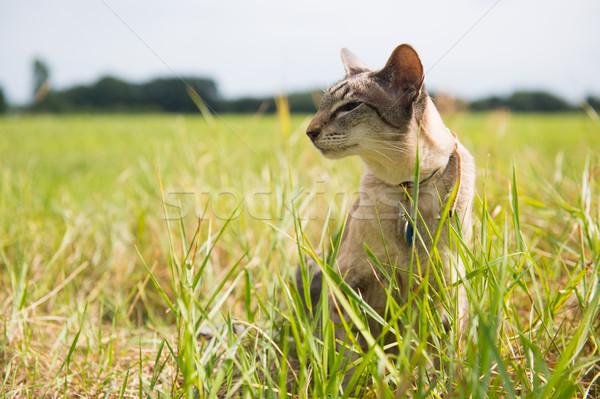 Sziámi macska szabadtér fű macska Stock fotó © ivonnewierink
