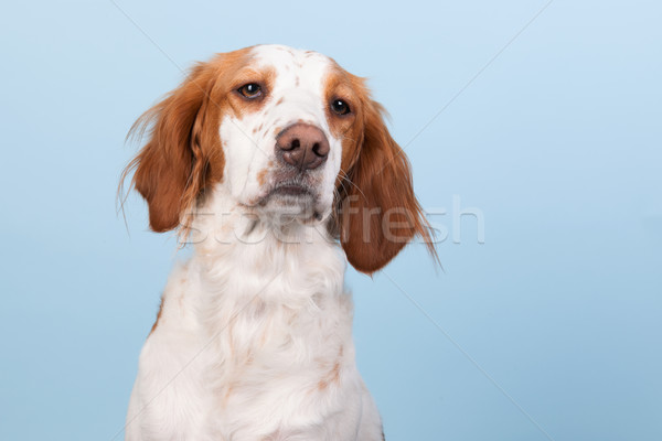 Portrait of Cross-breed Spaniel Stock photo © ivonnewierink