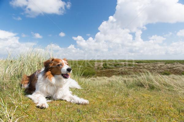 собака голландский острове пейзаж природы Сток-фото © ivonnewierink