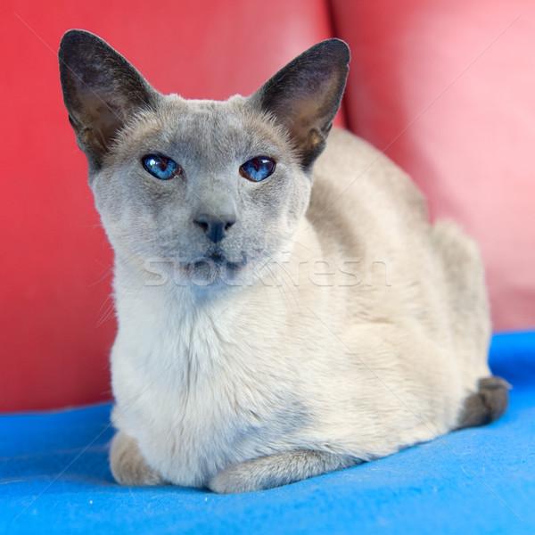 Kék pont sziámi macska felnőtt pad macska Stock fotó © ivonnewierink