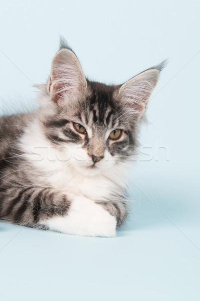 Stockfoto: Maine · kitten · leggen · Blauw · studio