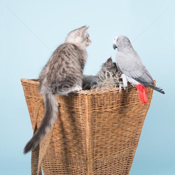 オウム メイン州 子猫 グレー 赤 物語 ストックフォト © ivonnewierink