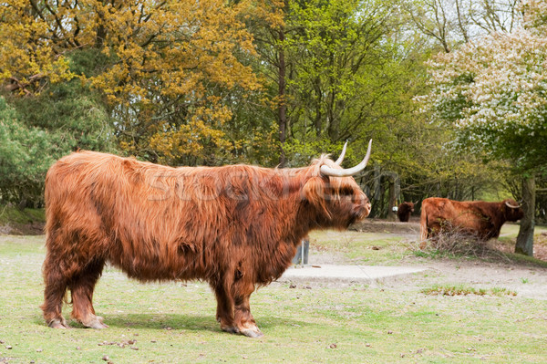 Scottisch highlander Stock photo © ivonnewierink