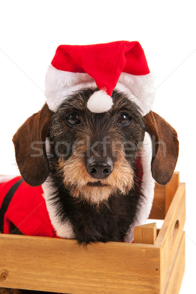 Wire haired dachshund with Christmas suit in wooden crate Stock photo © ivonnewierink