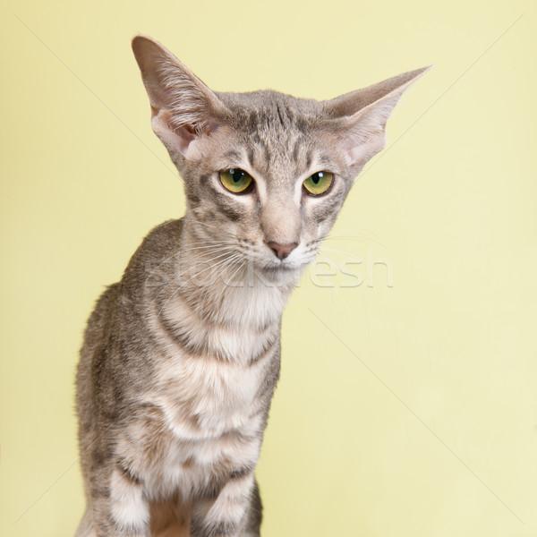 スタジオ 肖像 シール シャム猫 孤立した 背景 ストックフォト © ivonnewierink