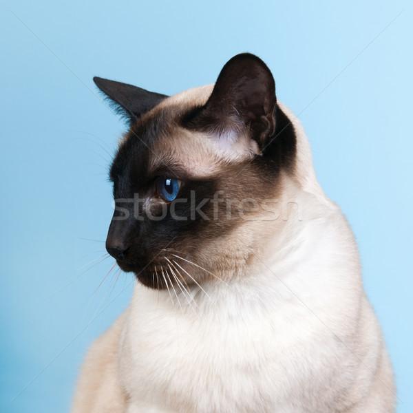 Sziámi macska fóka pont kék szemek háttér kék Stock fotó © ivonnewierink