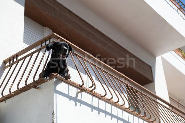 Dog at balcony Stock photo © ivonnewierink