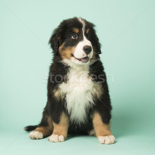 Boyero de berna cachorro verde cute pequeño bebé Foto stock © ivonnewierink