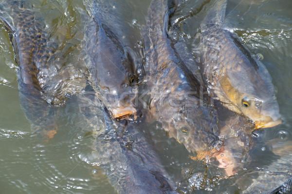 鯉 スイミング 水 新鮮な 野生動物 ストックフォト © ivonnewierink